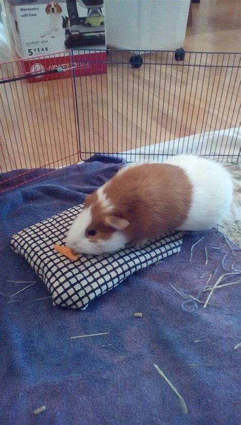 17 best ideas about guinea pigs on