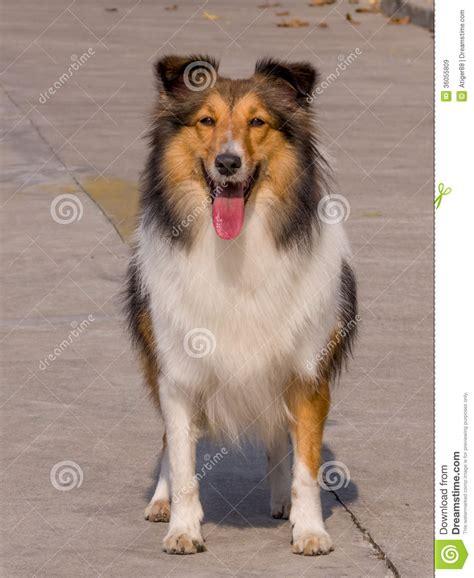 shetland sheepdog royalty free stock image image 5957166