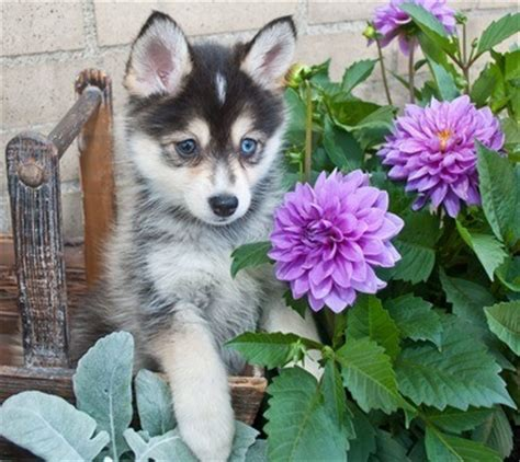 Do Pomskies Shed Fur by How Much Do Pomskies Cost Other Facts About Pomskies