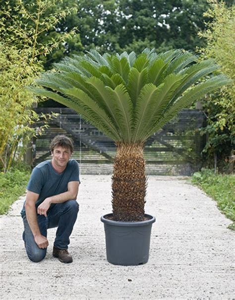 cycas revoluta sago palm house of plants