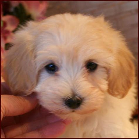 maltipoo puppies for sale breeders mixed breed dogs