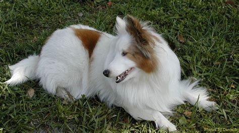 sheltie news stories pictures products shelties home