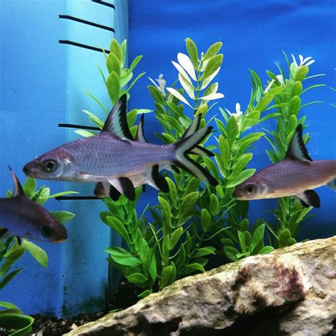 25 best ideas about tropical freshwater fish on freshwater fish tank freshwater