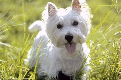 terriers that dont shed a on pet health nutrition and tips homes alive