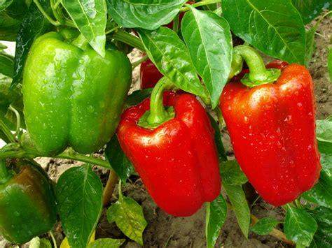 planter des poivrons