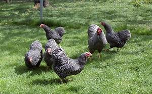 Hühner Im Garten : h hner das info portal zur h hnern und h hnerhaltung ~ Markanthonyermac.com Haus und Dekorationen