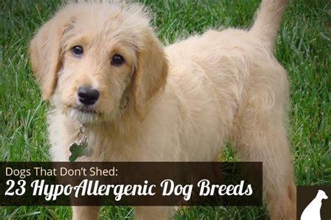 Dogs That Dont Shed Their Fur by Goodbye Hair 23 Dogs That Don T Shed Hypoallergenic