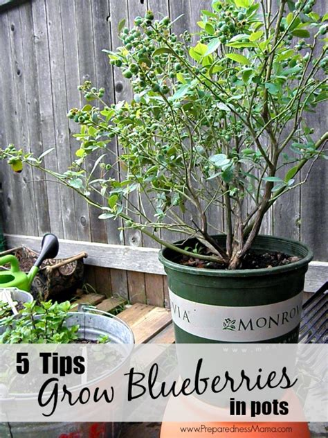 5 tips to grow blueberries in pots