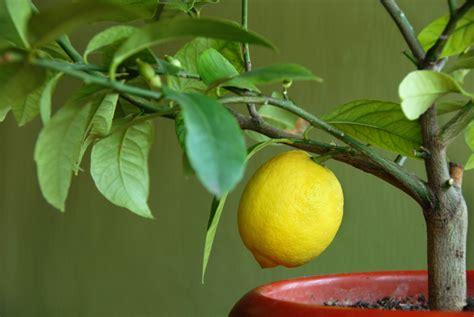 entretien d un citronnier en pot
