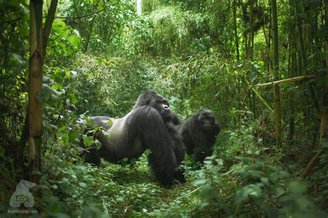 World Biggest Gorilla