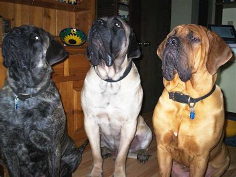 mastiff mastiff breed information and images k9rl