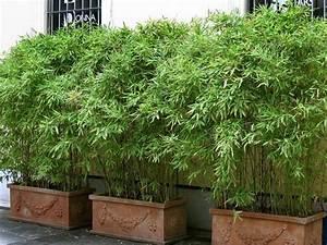 Immergrüner Sichtschutz Im Kübel : bambus auf balkon als sichtschutz balkon pinterest sichtschutz bambus und balkon ~ Whattoseeinmadrid.com Haus und Dekorationen