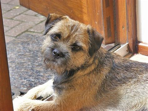 17 best images about border terrier on animals and the pub
