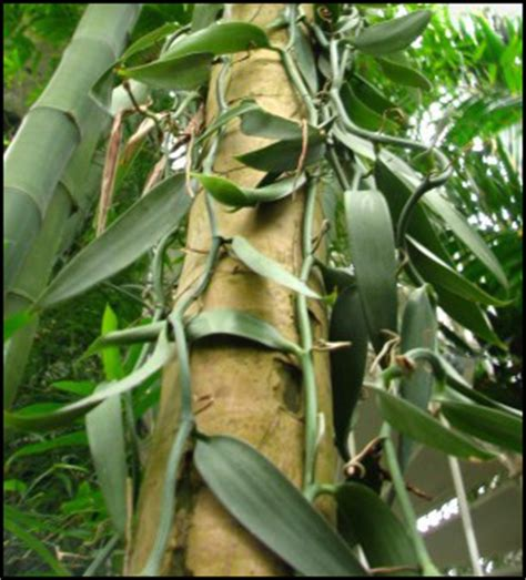 la vanille la plante tongasoa madagascar