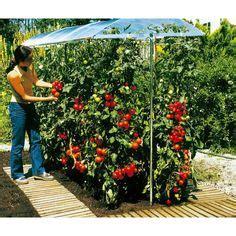 tomates quot money maker quot les plus r 233 sistantes et productives prot 233 ger de la pluie sinon mildiou