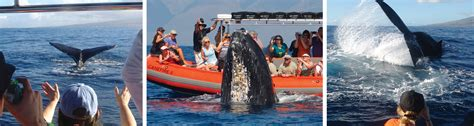 Zodiac Boat Maui by Up Close 2 Hour Whale Watching Tours Captain Steve S Rafting