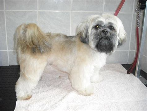 lhasa apso puppy cut lhasa apso puppys lhasa and style