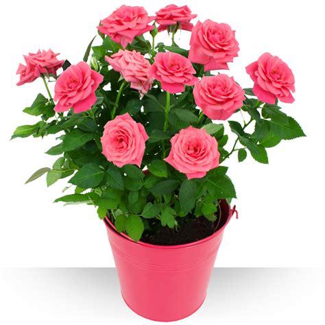 plantes rosier