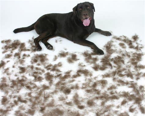 Dogs That Dont Shed Their Fur by Hair Shedding Breeds Picture
