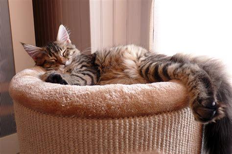 arbre a chat maine coon choisir un arbre 224 chat sp 233 cial grand chat