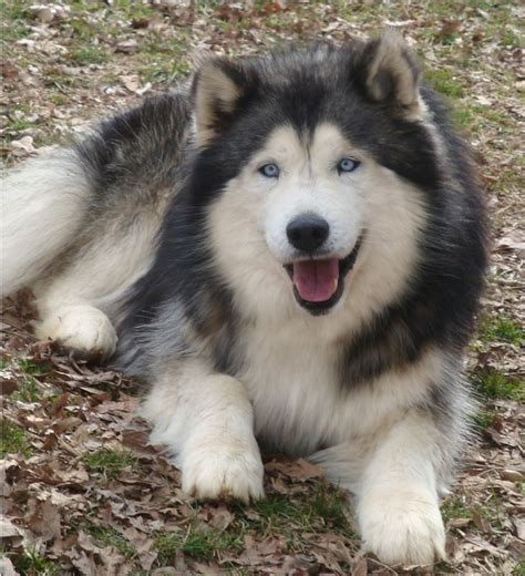 alusky husky malamute info puppies and pictures