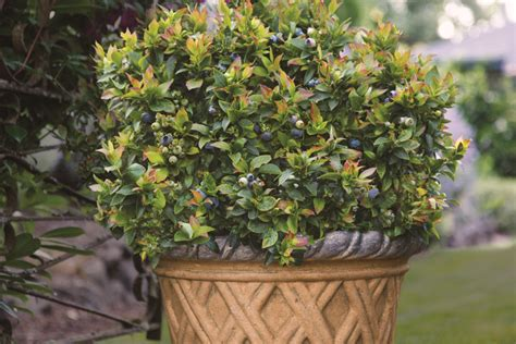 the best blueberries to grow in containers espoma