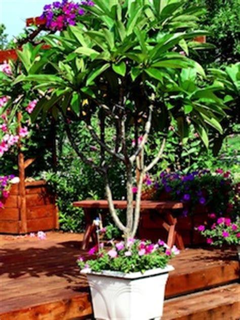 frangipanier un arbuste exotique pour l int 233 rieur
