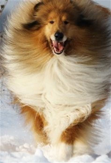 sheltie shedding in winter 1000 images about collie on