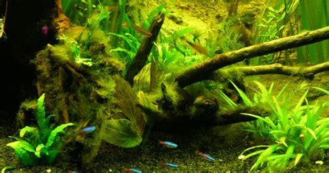 d 233 marrage d un bac fermentation algues filamenteuses vertes blognature fr