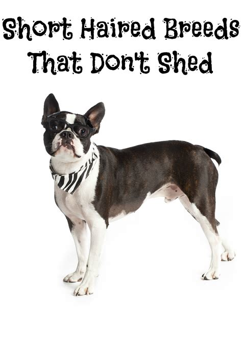 dogs that dont shed hair much haired breeds that don t shed dogvills