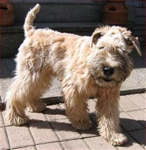 1000 ideas about wheaten terrier on terriers terrier breeds and terrier puppies