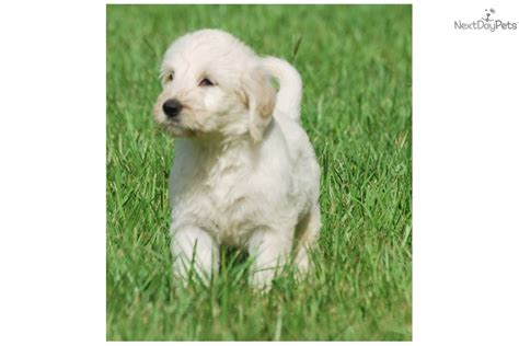 non shedding small mixed breeds non shedding hybrid breeds picture