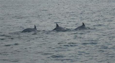Boat Rides Va Beach by Dolphins Not Far From The Beach Picture Of Rudee Flipper