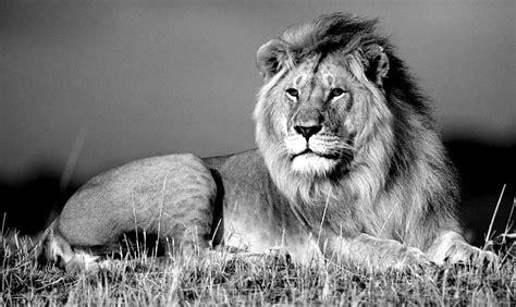 Lion Wallpaper Black and White WallpaperSafari