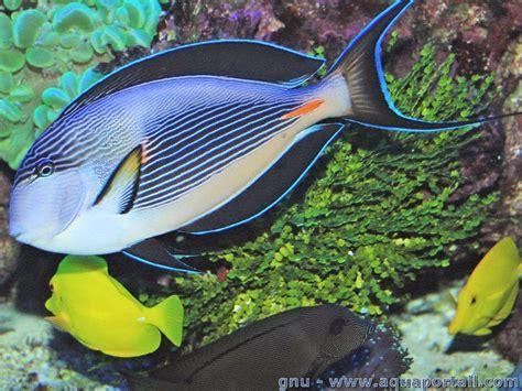 acanthurus sohal poisson chirurgien 233 poisson chirurgien z 233 br 233 233 levage