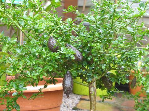 fiche de culture comment cultiver les citronniers et agrumes le jardin des curiosit 233 s