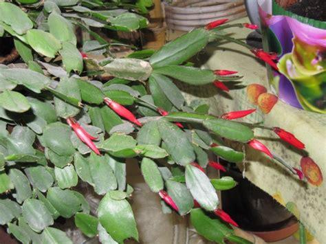 plante grasse d interieur fleurie photos de magnolisafleur