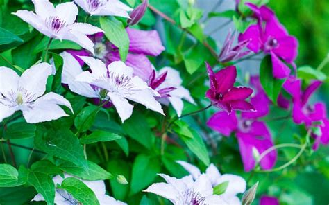 Shade Garden The Best Climbing Plants For Shady Garden