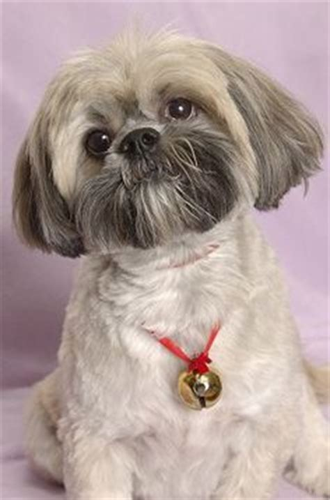 lhasa apso haircuts teddy cut llaso apso dogs