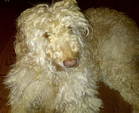 list non shedding hypoallergenic dogs pictures non shedding breeds breeds