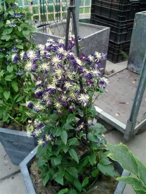 clematis aromatica taylors clematis