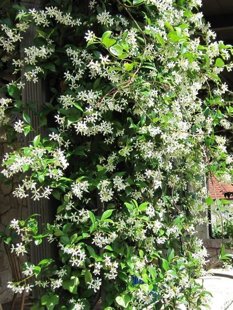 Types Of Fragrant Climbing Plants  Gardens, Flower And