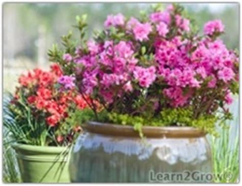 shrubs in containers blooming shrub encore azaleas gardening