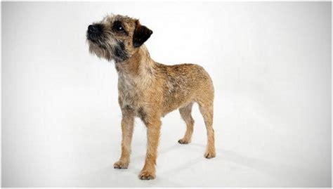 border terrier puppies breeders facts pictures shedding temperament animals adda