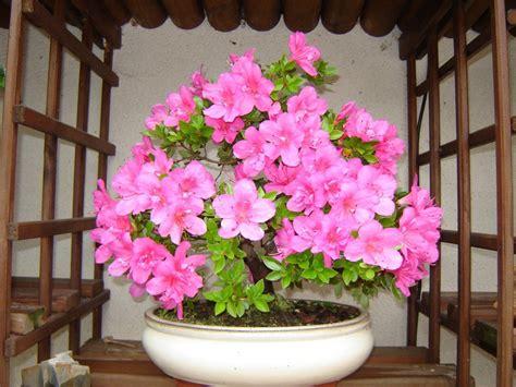bonsa 239 cr 233 ation fiche d entretien du azal 233 e rhododendron indicum