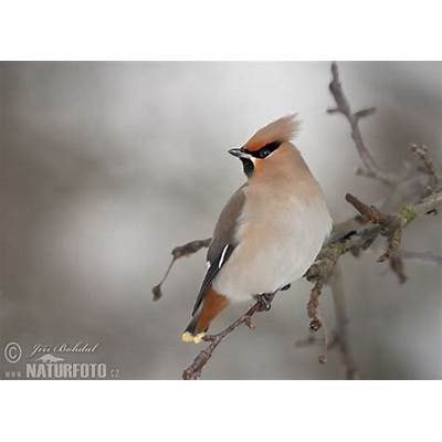 Bohemian Waxwing Pictures Images