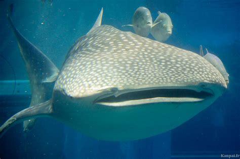 kaiyukan l aquarium vertical d osaka au requin baleine