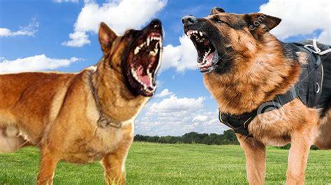 belgian malinois vs german shepherd shedding belgian malinois vs german shepherd comparison k9