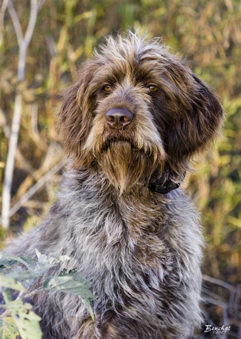 wirehaired pointing griffon breed history and some