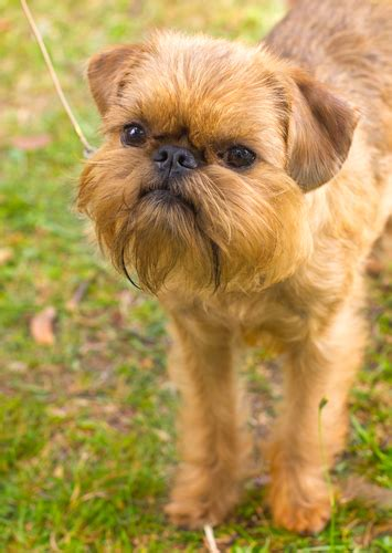bbs breed spotlight brussels griffon best bully sticks
